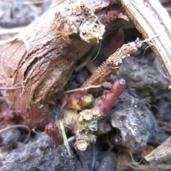 premiere pousses de houblon